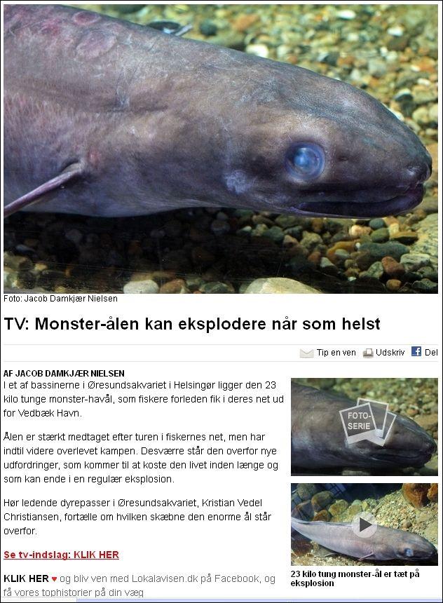 Monster ål - Lokalavisen 090414