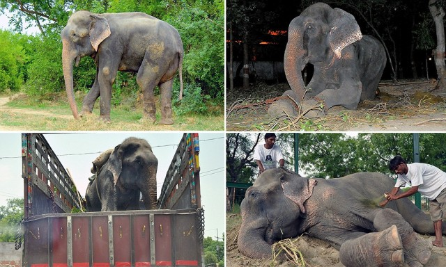 ©Press PeoplenRaju the elephant takes his first steps to freedom, after 50-years in chains